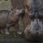 Baby Hippo at Disney's Animal Kingdom Named Augustus