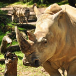 "Walt Disney World Announces ""Up Close with Rhinos"" Tours at Animal Kingdom"
