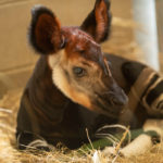 Okapi Calf Born at Disney Animal Kingdom Lodge