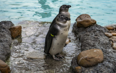 Celebrate Penguin Awareness Day with Busch Gardens Tampa Bay
