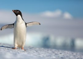 """Disneynature's """"Penguins"""" Coming to El Capitan for Special Five-Day Engagement"""