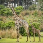 Male Masai Giraffe Calf Makes His Debut on Kilimanjaro Safaris