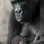 Disney's Animal Kingdom Welcomes New Baby Gorilla