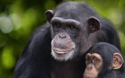 "National Geographic Shares Trailer for New Series ""Meet the Chimps"" Coming to Disney+"