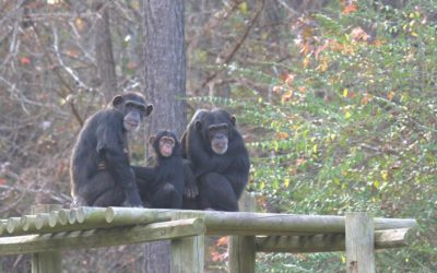 "Review - ""Meet the Chimps"" on Disney+ is a Fun Introduction to Several Families of Primates"
