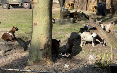 Nigerian Dwarf Goats Have Been Added to the Newly Created Warden's Outpost on Kilimanjaro Safaris
